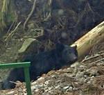 【クマ情報】夏の里にツキノワグマ 滋賀で目撃多発