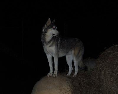 危険な野犬